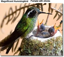 Female Magnificent Hummingbird with chicks