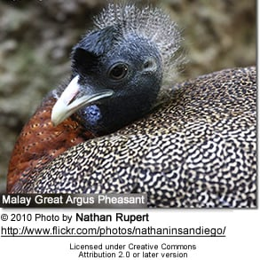 Malay Great Argus Pheasant
