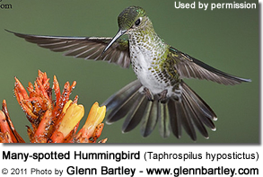 Many-spotted Hummingbird (Taphrospilus hypostictus)