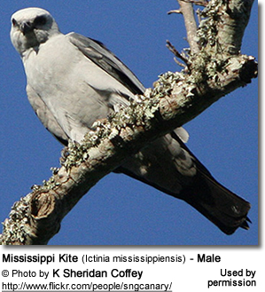Mississippi Kite (Ictinia mississippiensis) - Male
