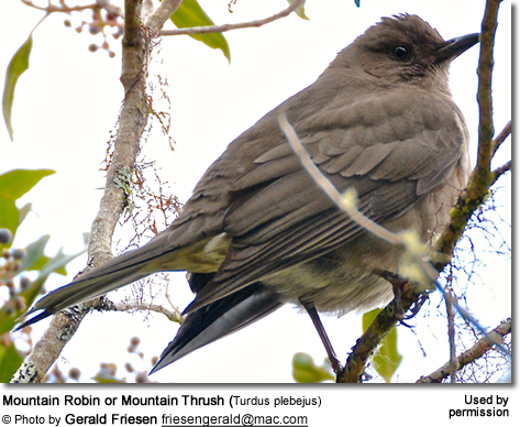 Mountain Robin or Mountain Thrush (Turdus plebejus)