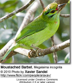Moustached Barbet, Megalaima incognita