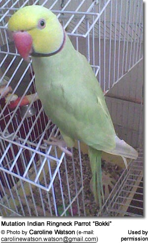 "Mutation Indian Ringneck Parrot ""Bokki"""