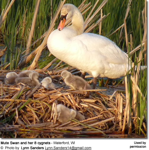 Mute Swan and her 8 cygnets