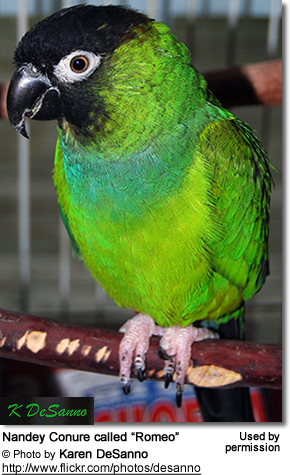 Nandey Conure called