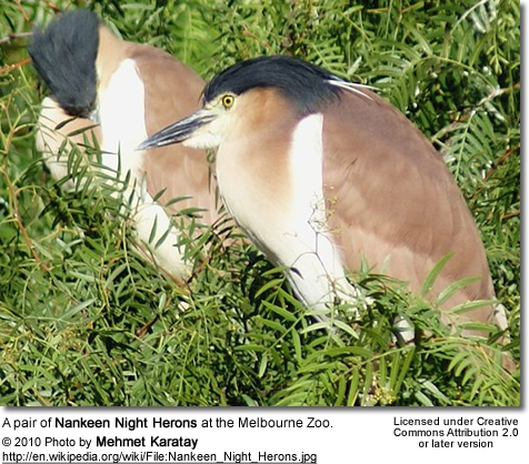 A pair of Nankeen Night Herons at the Melbourne Zoo
