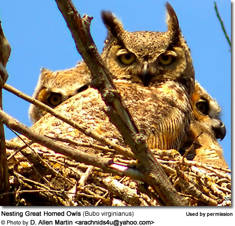 Nesting Great Horned Owls (Bubo virginianus)