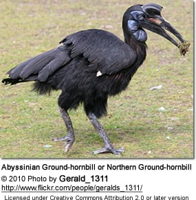 Abyssinian Ground-hornbill or Northern Ground-hornbill