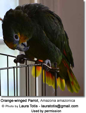 Orange-winged Parrot, Amazona amazonica