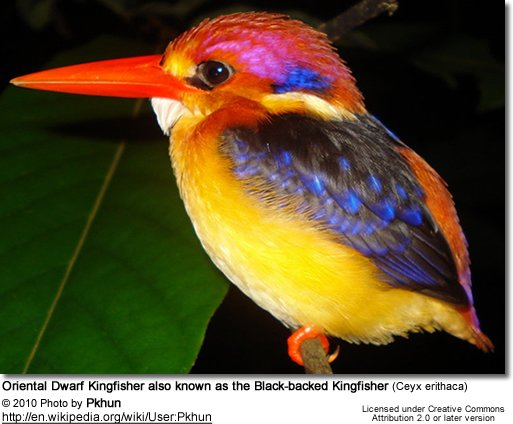 Oriental Dwarf Kingfisher or Black-backed Kingfisher (Ceyx erithaca)