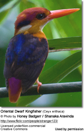 Oriental Dwarf Kingfisher (Ceyx erithaca), Black-backed Kingfisher or Miniature Kingfisher