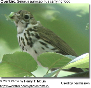 Ovenbird carrying food