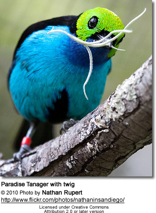 Paradise Tanager with twig