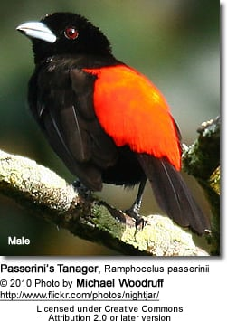 Passerinis Tanager - Male
