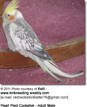 Pearl Pied Cockatiel - Adult Male