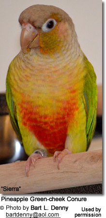 "Pineapple Green-cheek Conure ""Sierra"""