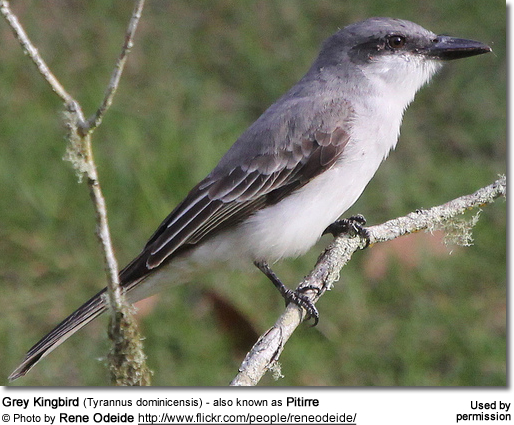 Grey Kingbird (Tyrannus dominicensis) - also known as Pitirre