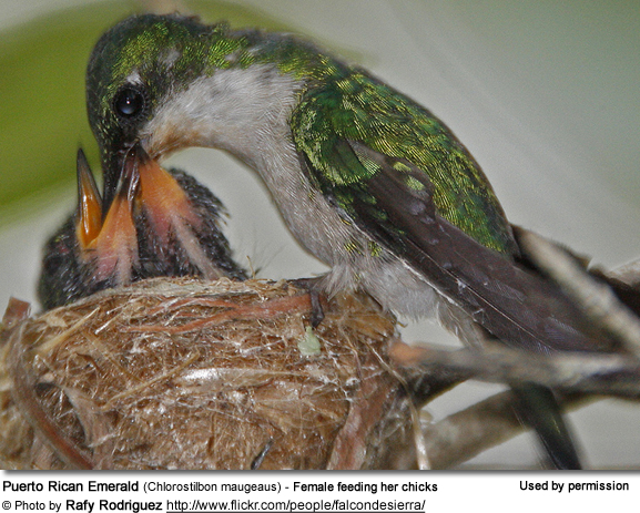 Puerto Rican Emerald (Chlorostilbon maugeaus) - Female feeding her chicks