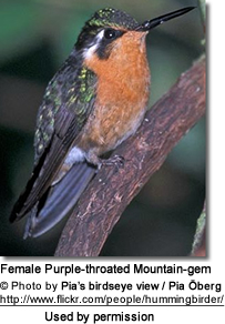 Female Purple-throated Mountain-gem