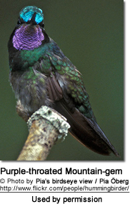 Male Purplethroated Mountain-gem