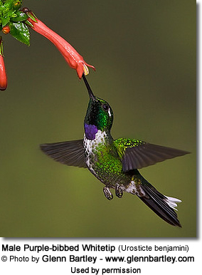 Male Purple-bibbed Whitetip (Urosticte benjamini)