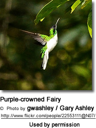 Purple-crowned Fairy  (Heliothryx barroti)