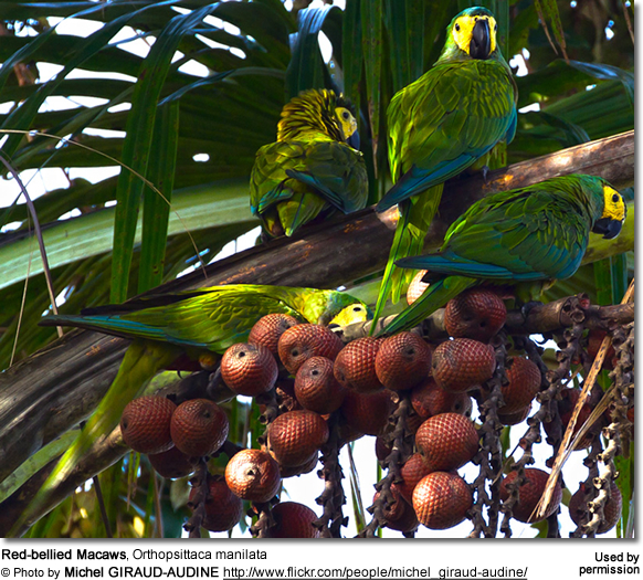 Red-bellied Macaws, Orthopsittaca manilata