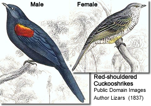 Red-shouldered Cuckooshrikes (Campephaga phoenicea)