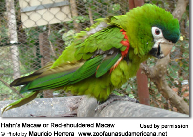 Hahn's Macaw or Red-shouldered Macaw (Ara / Diopsittaca nobilis nobils)