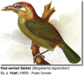 Red-vented Barbet (Megalaima lagrandieri)