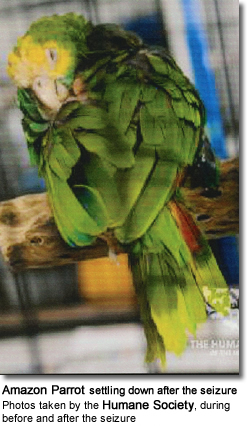 Amazon Parrot Rescued