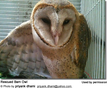 Rescued Barn Owl