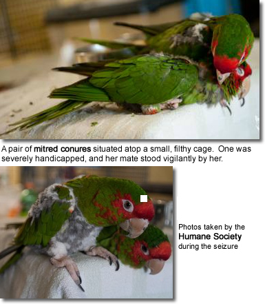 Rescued Mitred Conures