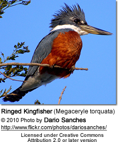 Ringed