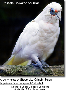Roseate Cockatoo