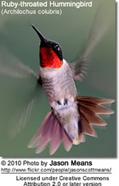 Ruby-throated Hummingbird (Archilochus colubris