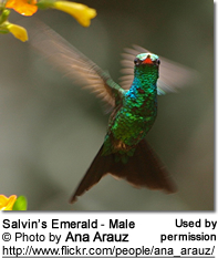 Male Salvin's Emerald