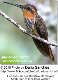 Saw-billed Hermit (Ramphodon naevius)