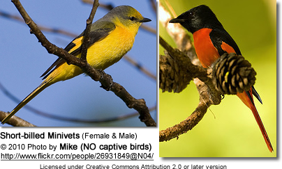 Short-billed Minivets (Female and Male)