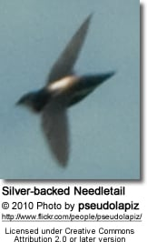 Silver-backed Needletail