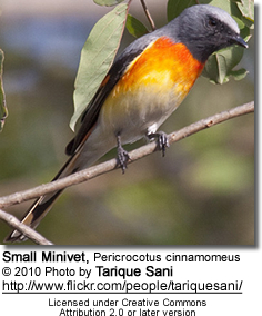 Small Minivet, Pericrocotus cinnamomeus - Adult Male