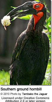 Southern Ground-hornbill or cafer (Bucorvus leadbeateri)