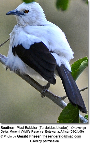 Southern Pied Babbler (Turdoides bicolor)