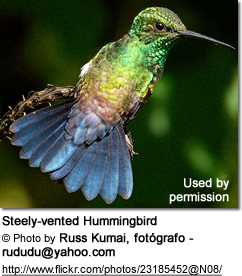 Steely-vented Hummingbird