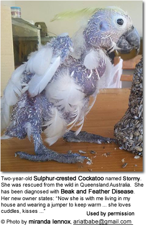 Two-year-old Sulphur-crested Cockatoo named Stormy