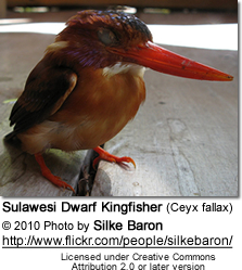 Sulawesi Dwarf Kingfisher (Ceyx fallax) after it flew into a window
