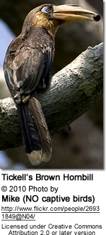 Tickell's Brown Hornbill (Anorrhinus tickelli)