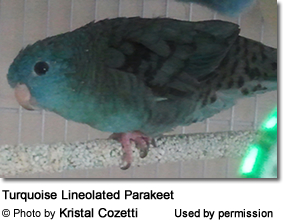 Turquoise Lineolated Parakeet