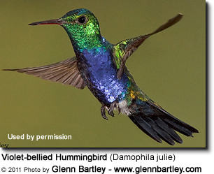 Violet-bellied Hummingbird (Damophila julie)