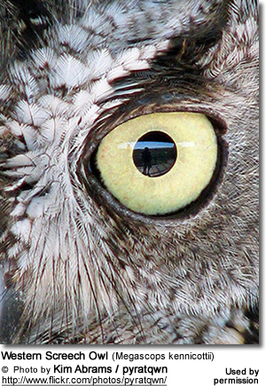 Western Screech Owl (Megascops kennicottii) - Eye Detail